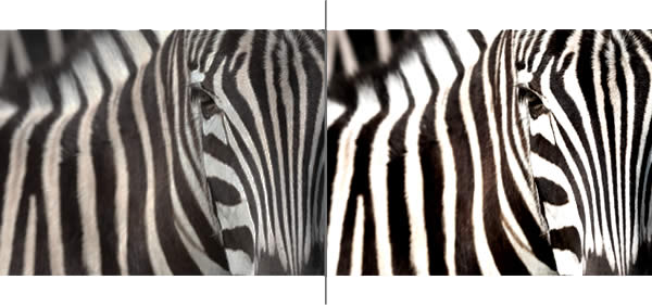 high contrast zebra